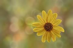 ngulo picado / High-angle shot (hequebaeza) Tags: naturaleza florasilvestre vegetacin flores flowers ptalos amarillo yelow petals margarita ngulopicado highangleshot nikon d5100 nikond5100 55200mm hequebaeza