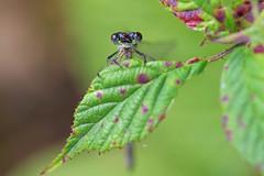 A Better View? (Hugobian) Tags: hertford heath nature reserve hmwt insect macro wildlife flora fauna pentax k1 emerald damselfly