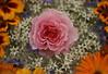 Flowers (janroles) Tags: nature flickr canoneos400d blossom rose orange pink floral fleurs summer serene