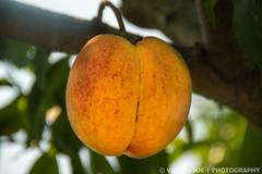 Yellow Peach in Melick's Town Farm (Venish Joe) Tags: venish venishjoe newjersey nj farm califon melickstownfarm yellowpeach peach