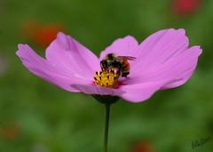 A Bee (alanj2007) Tags: flower insect bee newyork upstatenewyork saranaclake macro 5dmkiii canon 100mmmacrof28lisusm