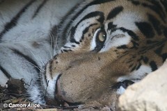 EYE OF THE TIGER (pinkystar_84) Tags: tigre tiger felino felines sleep dormire ritratto portrait animal flickr colori colors natura fotoamoremio animalplanet wwf eye mammals mammifero sonno pisolino pennichella sguardo