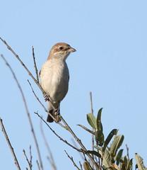 _MG_9371 Red-backed shrike (Andy McGuinness) Tags: bird birds shrike redbacked