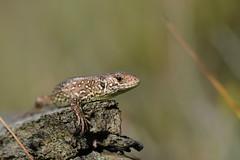 this year's produce (2) - sand lizard hatchling (Lacerta agilis) (willjatkins) Tags: lizard lizards lizardsofeurope uklizards sandlizard lacertaagilis lacerta ukwildlife ukamphibiansandreptiles ukreptilesandamphibians ukreptiles ukreptile uklizard ukherpetofauna britishwildlife britishamphibiansandreptiles britishreptilesandamphibians britishreptiles britishlizards britishlizard britishherpetofauna protectedspecies protectedwildlife rarewildlife heathlandwildlife heathlandreptiles babyanimal hatchlinglizard dorsetwildlife dorsetreptiles dorsetlizards purbeckwildlife purbeckreptiles closeupwildlife closeup macro macrowildlife nikond7100 sigma105mm