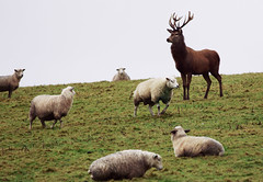 Red Stag in sheep (Adam Beaney) Tags: redstag sheep sussex pentax funny