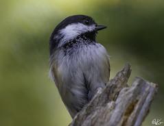 Black Cap Chickadee_3958 (Kerry. Williams - Amateur) Tags: chickadee blackcap chichadee birds borealforrest canada manitoba lakewinnipeg