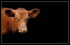 Indifference (J Michael Hamon) Tags: cow cattle farm animal hamon nikon d3200 nikkor 55300mm blackbackground photoborder portrait ruminant