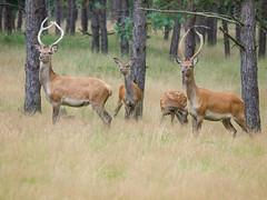 Wildpark Het Aardhuis (Rick Oldersom) Tags: highqualityanimals