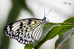 Butterfly (jpearce2307) Tags: green leaves butterfly bug insect critter