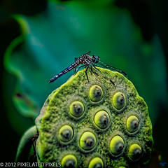 Dragonfly  Resting on Lotus Seedpod (Pixielated Pixels) Tags: brooklyn insect lotus photos dragonfly wallart winged botanicalgarden flyinginsect chrislord pixielatedpixels