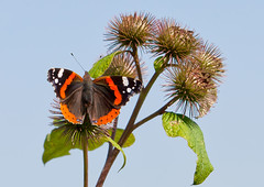Red Admiral (Ralph Neale) Tags: red vanessa up butterfly insect close feeding species burdock admiral atalanta