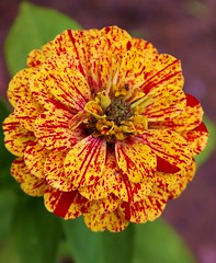 "Sunset Zinnia • <a style=""font-size:0.8em;"" href=""http://www.flickr.com/photos/54958436@N05/7779399066/"" target=""_blank"">View on Flickr</a>"