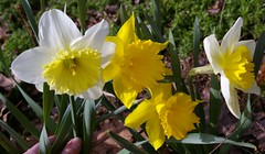 "Daffodils • <a style=""font-size:0.8em;"" href=""http://www.flickr.com/photos/54958436@N05/7779430730/"" target=""_blank"">View on Flickr</a>"
