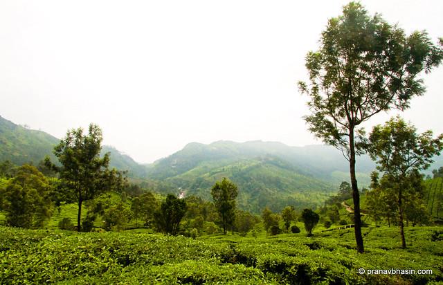 Silver Oak Planted In Tea Gardens At Munnar, Kerala