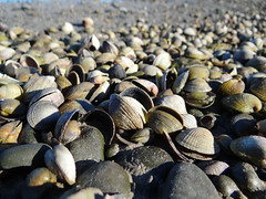 Shells at Pandora Pond (Home Land & Sea) Tags: newzealand shells estuary nz shellfish napier sonycybershot hawkesbay cockles ahuriri sooc pandorapond homelandsea dschx100v
