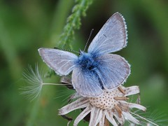 2353e Alaskan blues (jjjj56cp) Tags: blue nature alaska butterfly insect hiking ngc dandelion seeds talkeetna windblown trailside inthewild thegalaxy specanimal mygearandme mygearandmepremium flickrsfinestimages1 flickrsfinestimages2 unlimitedinsectslevel1 unlimitedinsectslevel2 unlimitedinsectslevel3 jennypansing