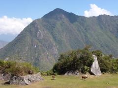 Vicuñas in Machu Picchu