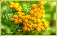Yellow Puff Ball Flowers (ScottElliottSmithson) Tags: lake flower macro nature up st yellow canon scott de point eos woods tour michigan 7d upperpeninsula wildflower huron hdr lakehuron puffball detour cedarville vital smithson naturepure photomatix stateforest michiganstateparks michiganstatepark lescheneaux cheneaux detourvillage saveearth easternupperpeninsula hessell detourstatepark michigansupperpeninsula eos7d detourmichigan puremichigan mygearandme easternup dtwpuck scottsmithson stvitalpoint detourstateforest hunronwildflowermichigan michiganles regioncedarviillelescheneauxnorth huronwoodsnaturehdrcanoneos7deos7dphotomatixscottsmithsonscott lescheneauxregion lakehuronwildflowers scottelliottsmithson