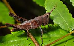 Maculiparia sp. (Acrididae de Bronce) (Francisco López-Machado) Tags: macrofotografia acrididae fotografíamacro maculiparia macrofotografiadeinsectos