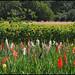 Wackernheim / Rheinhessen (Germany):  gladioli and sunflowers