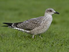 Lesser Black-backed Gull (Frode Falkenberg) Tags: norway gulls bergen fugler lesserblackbackedgull larusfuscus måker larusfuscusintermedius