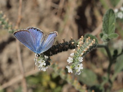 Plebejus argus ssp. hypochionus (Rambur, 1858), male- Silver-studded Blue (Peter M Greenwood) Tags: blue argus plebejusargus silverstudded silverstuddedblue plebejus plebejusargusssphypochionus plebejusargushypochionus