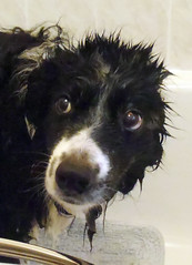 I don't like baths dad. (SukiPolly) Tags: morning dog wet smile bath collie dad sad good border hairdo unhappy dripping crosby