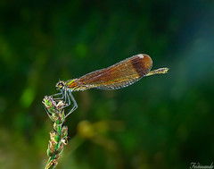 My first sunbeam (Ferdinandos) Tags: espaa macro nature corua galicia damselfly coleopteyx