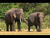 Inspector (Sara-D) Tags: nature animals forest asia wildlife sl lanka mating elephants srilanka ceylon lk aliya maximus wildanimals southasia elephasmaximus tusker sarad serendib elephas musth elephasmaximusmaximus elephantmating saranga wildelephants dealwis sarangadeva