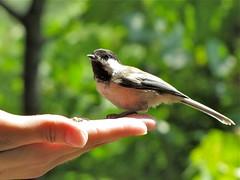 Feeding the Chickadees (Libra 42) Tags: park summer ontario canada bird animal canon garden feathers powershot seeds