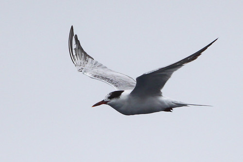 <p>When Common Terns migrate south (to Ecuador - Peru - Chile) in the West, they do it well offshore. Out east, this is not the case and the terns are common on beaches and even the interior. Common Terns are very difficult to separate from the Arctic Tern, but they are longer billed, longer necked and adults have a dark wedge on the upperwing, and broader dark trailing edge on the underwing. </p>