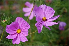 Double Delight (matlacha) Tags: pink flowers christchurch plants history nature photography for ruins recreation avon cosmos priory mimamorflowers mygearandme flowerthequietbeauty bestevergold