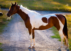 Mindy (Highway of Life) Tags: show horse cali mare national arab mindy arabian pinto saddlebred nsh cacaligirl