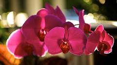 Purple Phalaenopsis Orchid (George C. Benson, Jr.) Tags: macro art nikon bokeh phalaenopsis greenhouse photographicart macrophotography sigma105mmf28exdgmacro phalaenopsisorchids flowerphotography sigmalenses flickraward flowersarebeautiful nikond700 sigmamacrolenses mygearandme hoyahmc81a aperture3 orchidimages hoyaphotographicfilters