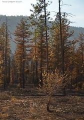 Wildfire Damage (Photography Through Tania's Eyes) Tags: wildfiredamage trees burnt pine ponderosapine peachland okanagan okanaganvalley bc britishcolumbia canada taniasimpson photographer photography photograph photo image copyrightimage nikon nikond7000 smoke damage