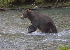 jaw bear (ladydipim) Tags: bear fish river fishing grizzly brownbear slamon