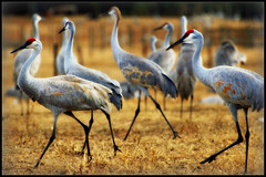 Strutting Our Stuff In Gainesville (gatorgalpics) Tags: florida gainesville fl visitors snowbirds sandhillcranes ifas cowpastures annualmigrators