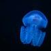 Aguas-vivas fluorescentes