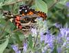 Where Have You been? (jrix) Tags: butterflies americanlady vanessavirginiensis theenchantedcarousel truebrushfootsnymphalinae bluemistspireacaryopterisclandonensisdarkknight