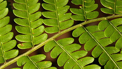 Rows and rows (rasraster) Tags: wild green nature leaves gardens outdoors nationalpark natural peaceful stems ferns acadia mountdesertisland mdi