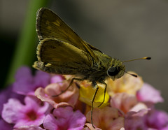 Butterfly_SAF9886 (sara97) Tags: copyright2016saraannefinke flower flowering floweringplant insect missouri moth nature outdoors photobysaraannefinke pollinator saintlouis towergrovepark urbanpark