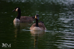 Swan (Maneesh Photo Collection) Tags: birds pairs pond swan duck
