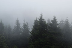 Foggy forest - Nebliger Wald (Lala89_Photos) Tags: fog nebel wald forest trees bume tannen natur nature black blackforest schwarzwald