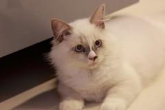 20160809-032 (Snowy Olaf) Tags: kitten britishlonghair       feliscatus  canon 5dmarkiii ef100400mm4556lis f4556