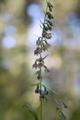 Epipactis helleborine var minor (mikxel) Tags: canon 6d tamron90mm macro wild orchid epipactis helleborine minor