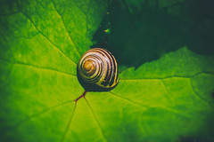 Vacancy (A Great Capture) Tags: shell snail leaf green agreatcapture agc wwwagreatcapturecom adjm toronto on ontario canada canadian photographer ash2276 ashleylduffus ald mobilejay jamesmitchell summer summertime 2016 nature natur empty eos 70d canon digital outdoor outdoors outside escargot caracol   ig