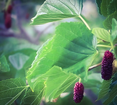 Mulberries (It Sure Feels Like Fall, Love It!!!) Tags: odc berries mulberries deepred bush leaves green
