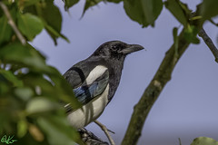 Black-billed Magpie_0061 (Kerry. Williams - Amateur) Tags: magpie birds blackbilledmagpie lakewinnipeg borealforrest