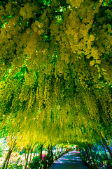 Laburnum Tunnel (JKmedia) Tags: boultonphotography flower flowers floral flora nationaltrust bodnantgardens northwales summer 2016 form beauty gardens laburnum archway arch gate gateway colourful yellow