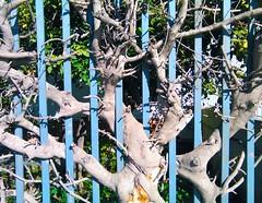 Tree Growth (Sascha Grabow) Tags: tree abstract growth wachstum outdoor tangle verwachsen sascha grabow lebenskraft plant baum busch bush gitter blue spain malaga espaa gartenzaun hashmark gardenfence treeoflife baumdeslebens stammbaum rbolgenealgico familytree life kraftdeslebens leben prison gitterstbe fence